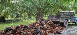 Todo lo que debes saber sobre el aceite de palma